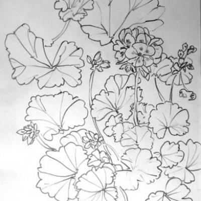 geraniums-marocains-