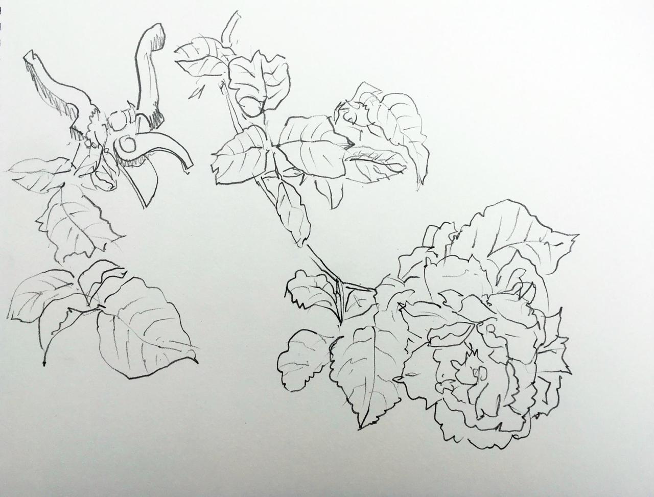 roses et secateur